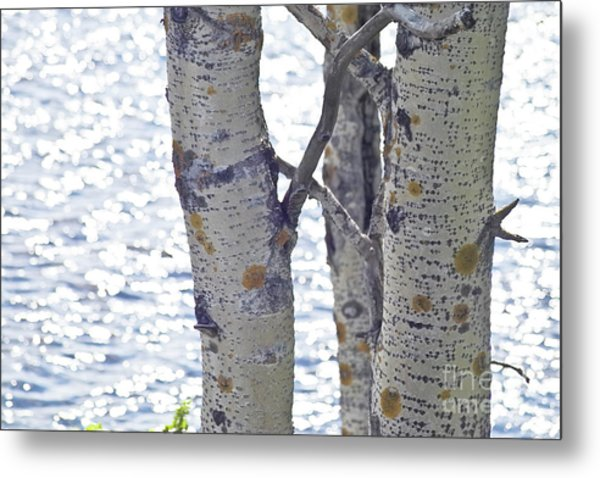 Silver Birch Trees At A Sunny Lake Metal Print