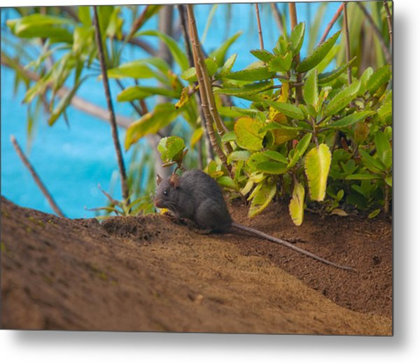 Silver Eyed Mouse Metal Print by Sarah Crites
