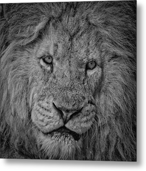 Silver Lion Metal Print