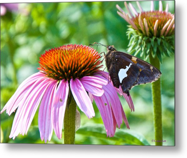 Silver-spotted Skipper And Echinachea Metal Print
