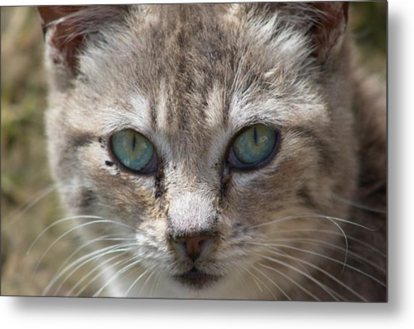 Silver Tabby But What Color Eyes Metal Print