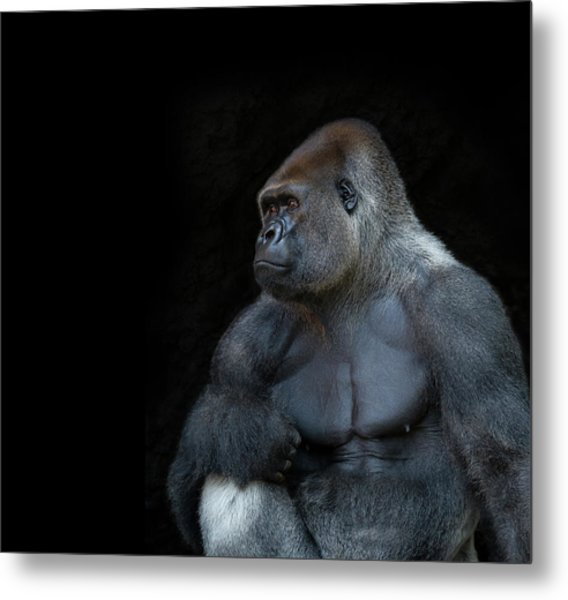 Silverback Gorilla Portrait In Profile Metal Print by Haydn Bartlett Photography