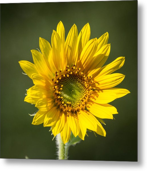 Simple Sunflower Metal Print