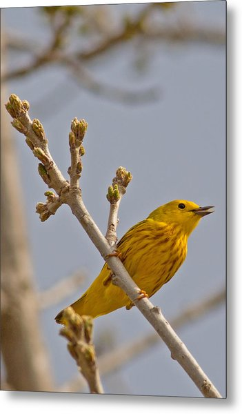 Singing Yellow Warbler Metal Print by Natural Focal Point Photography