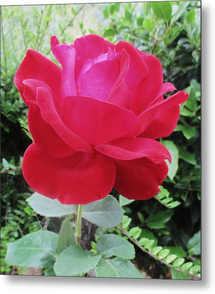 Single Red Rose Metal Print