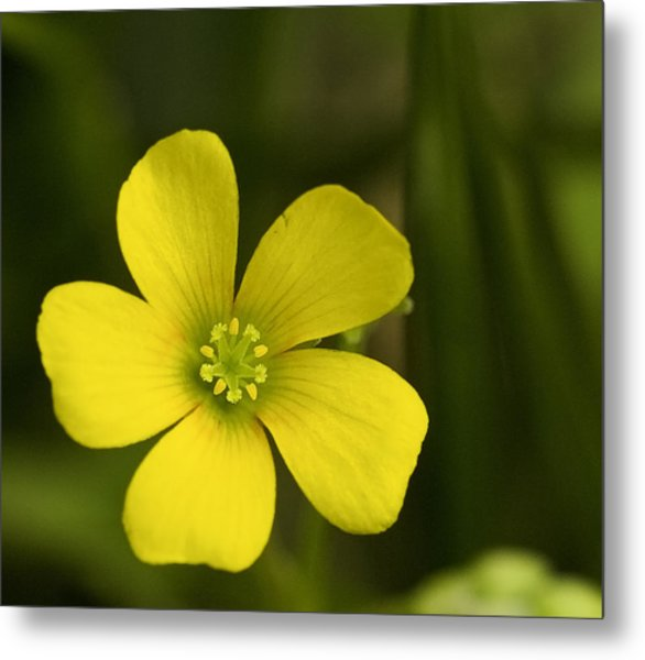 Single Yellow Flower Metal Print by John Holloway