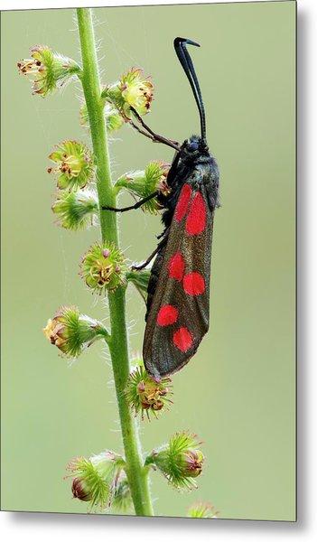 Six Spot Burnet Moth Metal Print