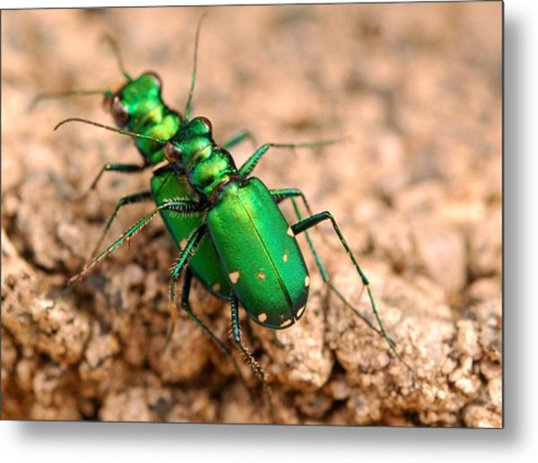 Six-spotted Tiger Beetle Mating Metal Print by Janet Hawkins