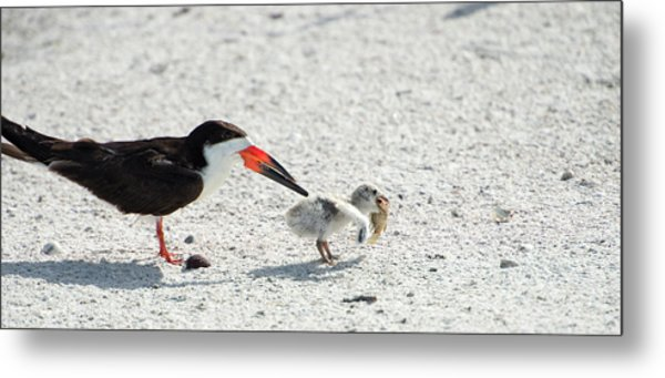 Skimmer Chick Carrying Fish Metal Print