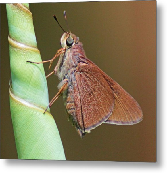Skipper Butterful Metal Print by Dart and Suze Humeston