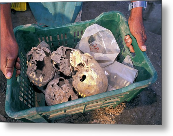 Skulls Excavated From Al-fustat Metal Print by Pascal Goetgheluck/science Photo Library