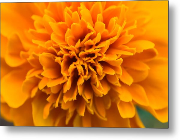 Skunk Flower Orange Metal Print
