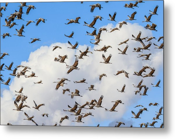 Skyful Of Cranes Metal Print