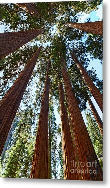 Skyscrapers - A Grove Of Giant Sequoia Trees In Sequoia National Park In California Metal Print
