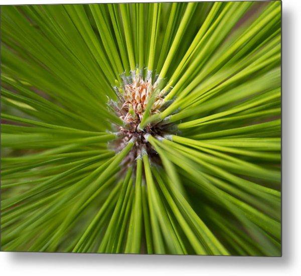 Slash Pine Needles 2 Metal Print