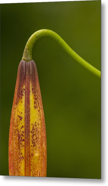 Sleeping Beauty - Turks Cap Lily Metal Print