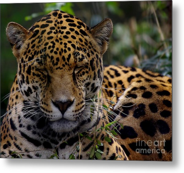 Sleeping Jaguar Metal Print