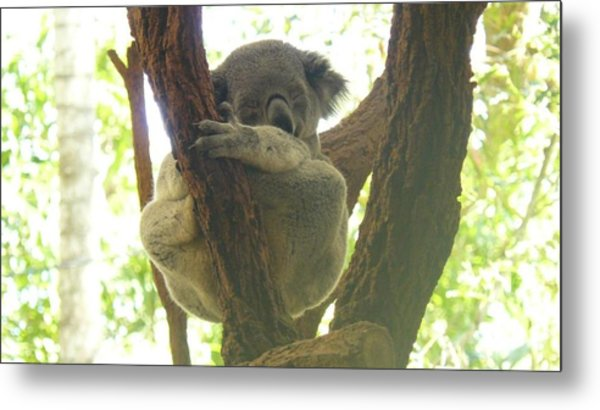 Sleeping Koala In Tree Metal Print