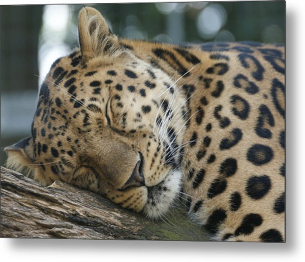 Sleeping Leopard Metal Print