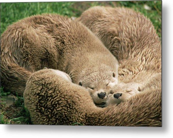 Sleeping Otters Metal Print