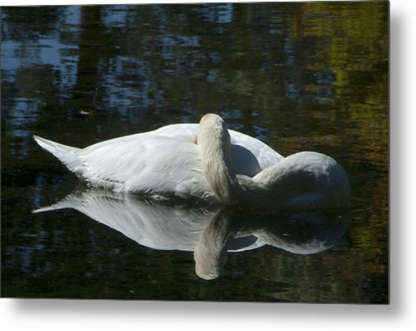 Sleeping Swan Metal Print