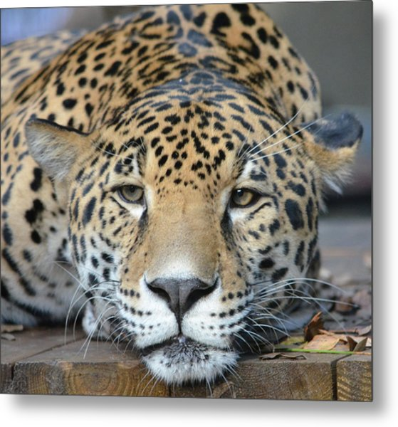 Sleepy Jaguar Metal Print