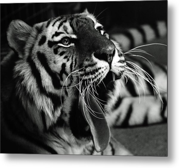 Sleepy Tiger Metal Print