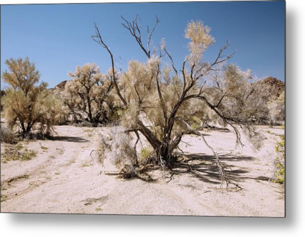 Smoke Tree (psorothamnus Spinosus) Growing Metal Print