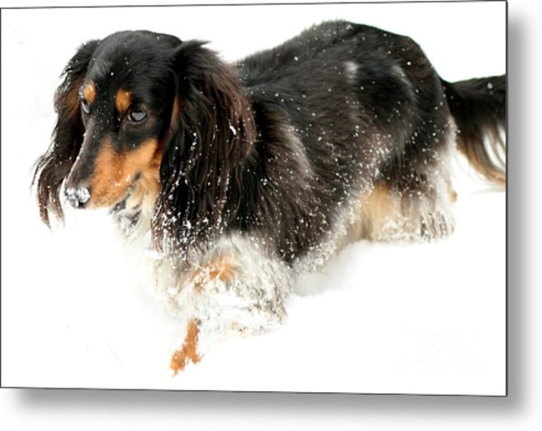 Sniffing Out Snow Metal Print