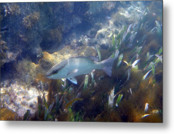 Snorkeling In The Tortugas Metal Print