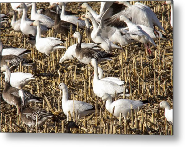 Snow And Ross's Geese Metal Print by Jill Bell