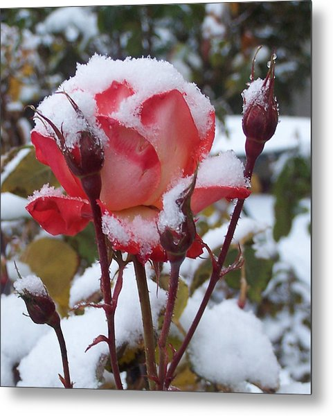 Snow Blooms Metal Print
