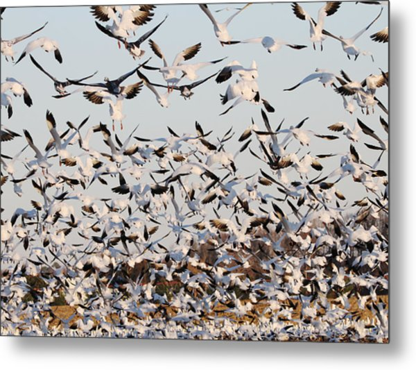 Snow Geese Takeoff From Farmers Corn Field. Metal Print