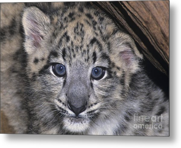 Metal Print featuring the photograph Snow Leopard Cub Endangered by Dave Welling