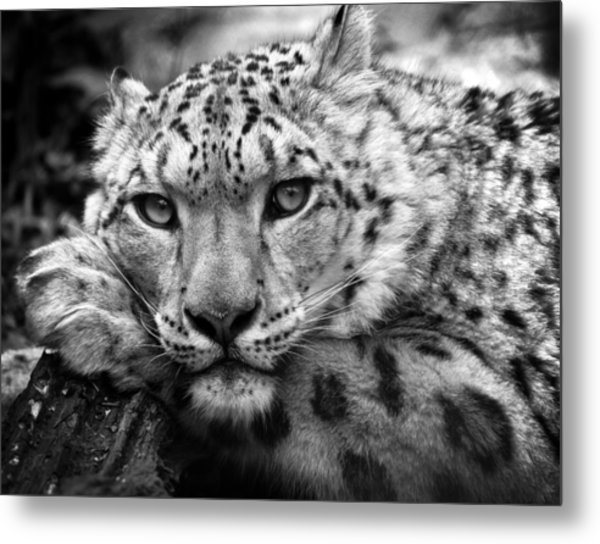 Snow Leopard In Black And White Metal Print