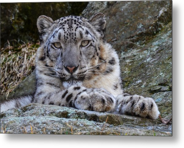 Metal Print featuring the photograph Snow Leopard by Michael Hubley