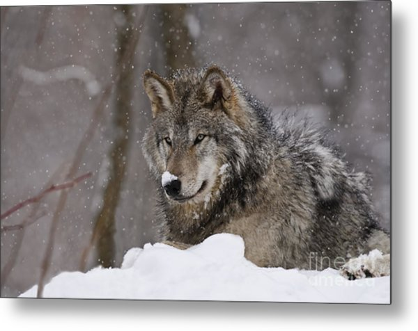 Snow Nose Metal Print