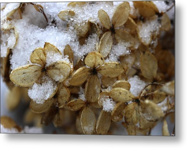 Snow On Hydrangea Metal Print