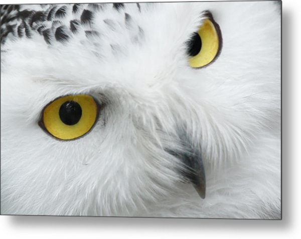 Snow Owl Eyes Metal Print