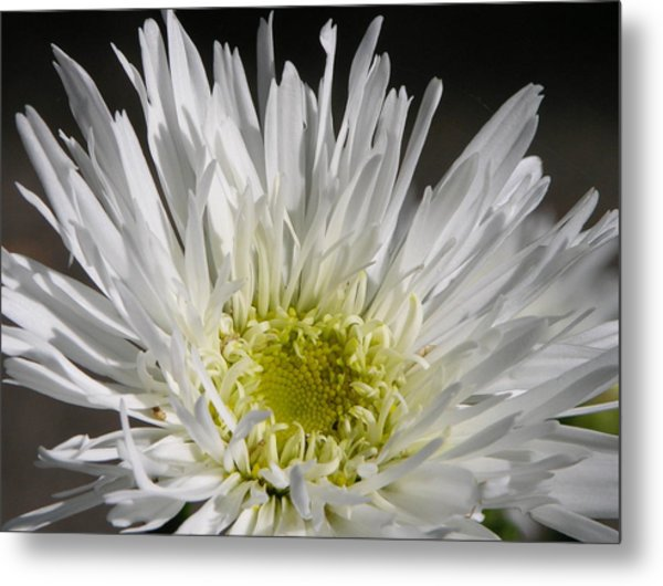 Snow White Metal Print by Lucy Howard