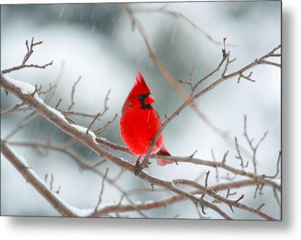Snowy Cardinal Metal Print