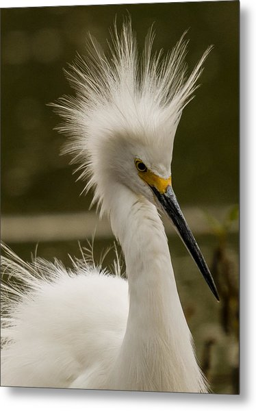 Snowy Egret Display Metal Print
