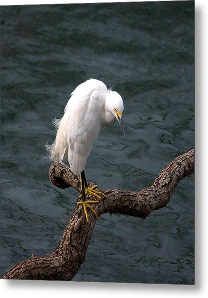 Snowy Egret Out On A Limb Metal Print