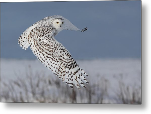 Snowy In Action Metal Print