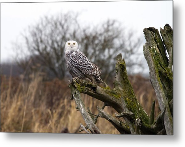 Snowy Owl At Boundary Bay  Metal Print by Pierre Leclerc Photography