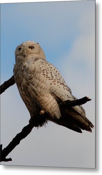 Snowy Owl Metal Print by David Yack