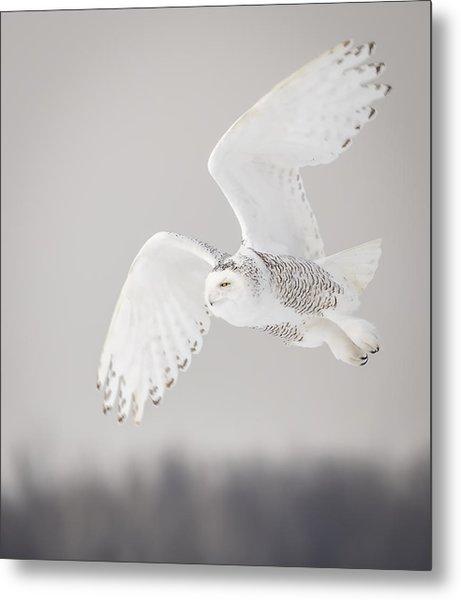 Snowy Owl In Flight 4 Metal Print