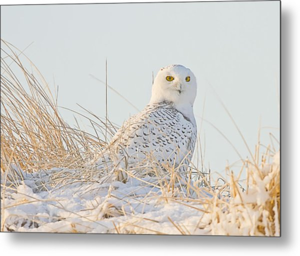 Snowy Owl In The Snow Covered Dunes Metal Print