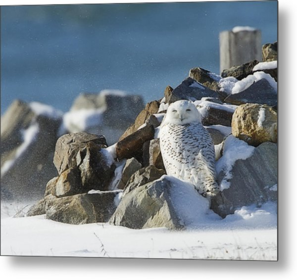 Snowy Owl On A Rock Pile Metal Print