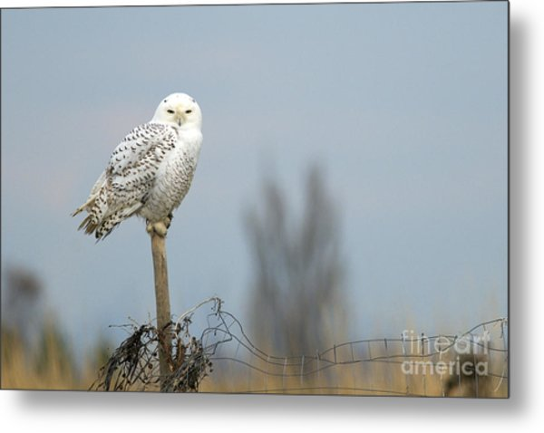 Snowy Owl On Fence Post 2 Metal Print